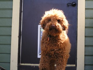 Oshi and Ollie went back to Ollie's house and he showed Oshi his nifty dog door and nice yard!