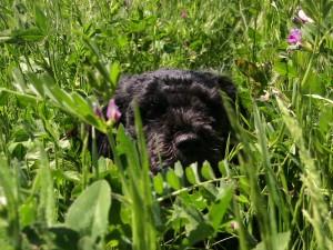 biscuitgrass