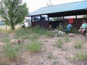 three blond dogs