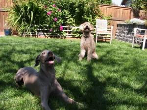 shade dogs