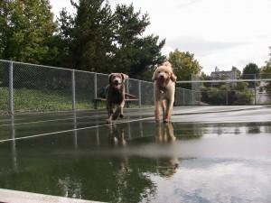 big dog running