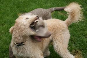 tough dogs