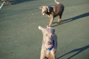 graydogs